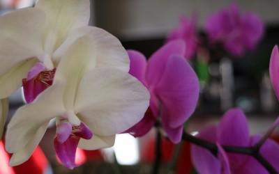 ORCHIDEE: Conoscerle, riconoscerle e coltivarle