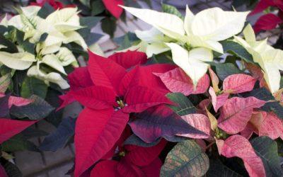 Consigli per curare la vostra Stella di Natale