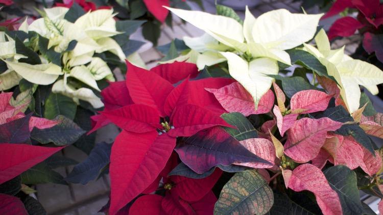 La Stella Di Natale Va Potata.Come Curare La Stella Di Natale Rf Giardini Blog Di Giardinaggio