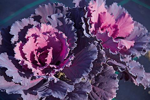 Le piante che fioriscono in inverno rf giardini blog for Cavolo ornamentale