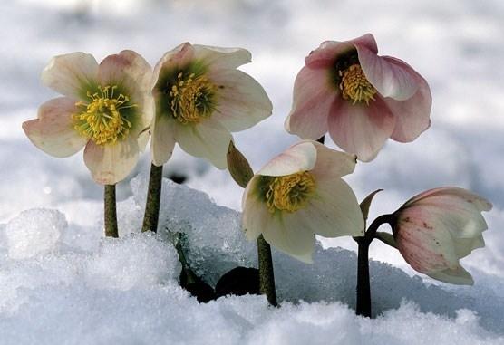 Le piante che fioriscono in inverno